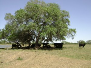 Indian Hills Farm Cattle